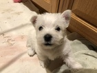 West Highland White Terrier Puppy For Sale in MERIDIAN, ID, USA