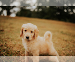 Goldendoodle Puppy for Sale in ABBEVILLE, South Carolina USA