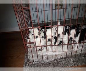 Boston Terrier Puppy for sale in SAINT CLAIR SHORES, MI, USA