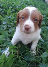 Brittany Puppy For Sale in DOLORES, CO, USA