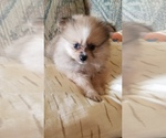 Pomeranian Puppy For Sale in FULTON, MO, USA
