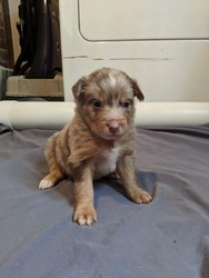 Australian Shepherd Puppy For Sale in ASHEBORO, NC, USA