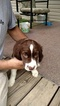 English Springer Spaniel Puppy For Sale in LOWMANSVILLE, KY, USA