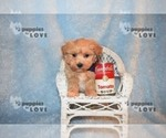 Small #10 Maltipoo-Poodle (Toy) Mix