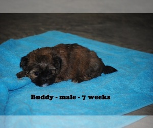 Zuchon Puppy for sale in CLARKRANGE, TN, USA