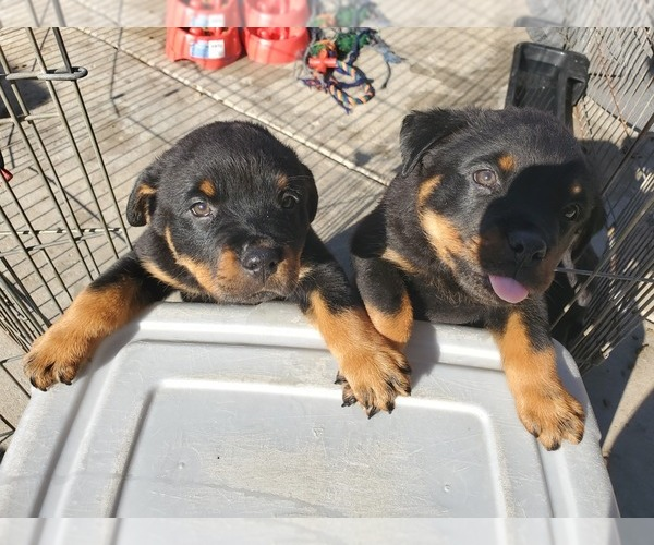 Medium Photo #3 Rottweiler Puppy For Sale in FRESNO, CA, USA
