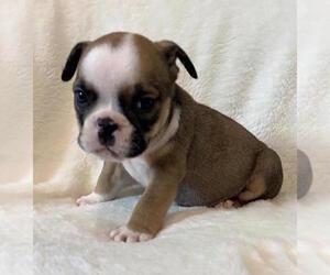 English Bulldog Dog for Adoption in CHARLESTON, South Carolina USA