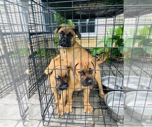 Bullmastiff Puppy for Sale in FRANKLINVILLE, New Jersey USA