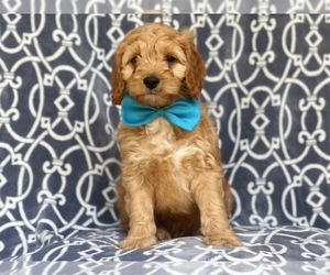 Cocker Spaniel-Poodle (Miniature) Mix Puppy for sale in LAKELAND, FL, USA