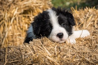 Border Collie Puppy For Sale in EVANS, CO, USA