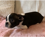 Small #10 French Bulldog