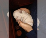 Puppy 4 Goldendoodle