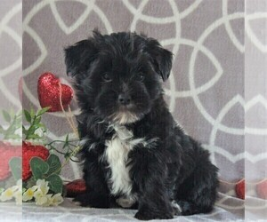 Morkie Puppy for sale in GORDONVILLE, PA, USA