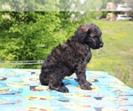 Small #25 Goldendoodle