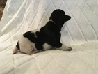 German Shorthaired Pointer Puppy For Sale in CASTLE ROCK, CO