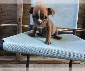 Olde English Bulldogge Puppy for sale in WILLISTON, SC, USA