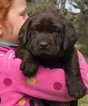 Labrador Retriever Puppy For Sale in OCHLOCKNEE, GA, USA