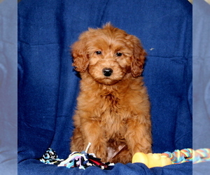Goldendoodle-Poodle (Miniature) Mix Puppy for Sale in NEW PROVIDENCE, Pennsylvania USA
