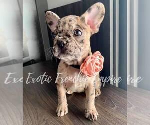 French Bulldog Puppy for sale in PLANTATION, FL, USA