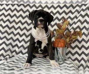 Boxer Puppy for sale in CEDAR LANE, PA, USA