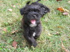 Shorkie Tzu Puppy For Sale in SAINT LOUIS, MO, USA