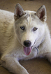 Siberian Husky Puppy For Sale in OAKDALE, CA,