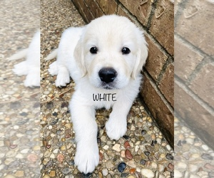 English Cream Golden Retriever Puppy for Sale in HOCKLEY, Texas USA