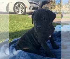 Cane Corso Puppy for Sale in RAMONA, California USA