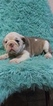 English Bulldog Puppy For Sale in BOSTON, Massachusetts,
