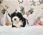 Puppy 8 Schnoodle (Miniature)