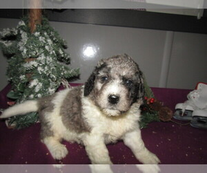Poodle (Toy)-Saint Bernard Mix Puppy for sale in LOUISVILLE, KY, USA