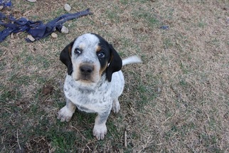 View Ad Bluetick Coonhound Puppy For Sale Near Oklahoma Bristow