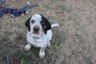 Bluetick Coonhound Puppy For Sale in BRISTOW, OK