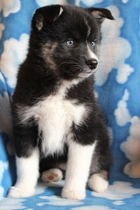 Pomsky Puppy For Sale in BEDFORD, IA, USA