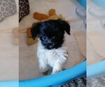 Small #4 Poodle (Standard)-Yorkshire Terrier Mix