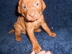 Vizsla Puppy For Sale in SYLVA, NC, USA