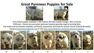 Great Pyrenees Puppy For Sale in MEDARYVILLE, IN, USA