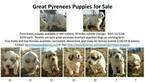 Pure breed Great Pyrenees livestock guardian dogs