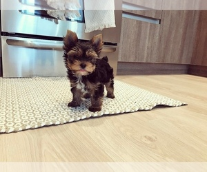 Yorkshire Terrier Dogs for adoption in BROOKLYN, MI, USA