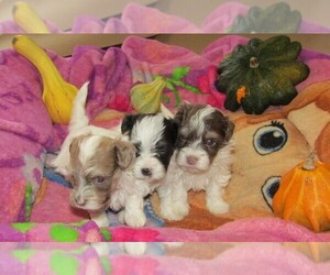 Havanese Puppy for sale in SPENCERVILLE, IN, USA