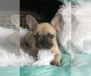 French Bulldog Puppy for Sale in OLYMPIA, Washington USA