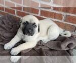 Puppy 6 Mastiff