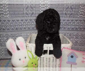 Poodle (Standard) Puppy for sale in COLS GROVE, OH, USA