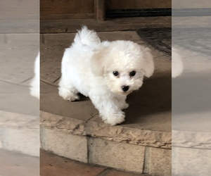 Bichon Frise Dog for Adoption in SANTA BARBARA, California USA