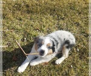 Miniature Australian Shepherd Dog for Adoption in BENTON CITY, Washington USA
