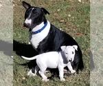 Puppy 5 Bull Terrier