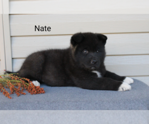 Akita Puppy for Sale in FRESNO, Ohio USA