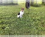 Puppy 5 Australian Cattle Dog-Jack Russell Terrier Mix