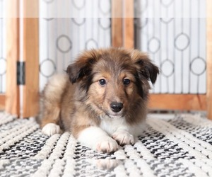Shetland Sheepdog Puppy for sale in NAPLES, FL, USA