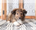Callie Beautiful Female AKC Sheltie Puppy